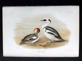Baker & Gronvold Indian Ducks 1908 Antique Bird Print. The Smew